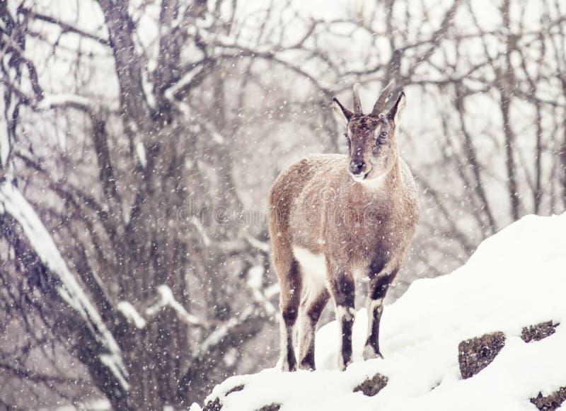Nayaur azul selvagem de Pseudois dos carneiros sob a neve em um wint nebuloso foto de stock royalty free