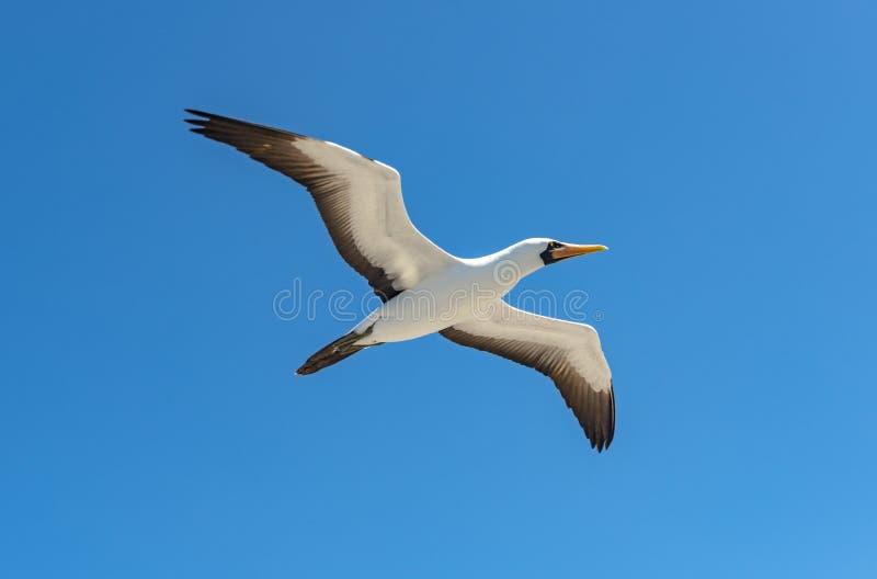 Nazcadomoor tijdens de vlucht, de Eilanden van de Galapagos, Ecuador stock foto