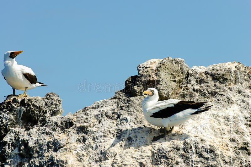 Nazcadomoren - de Galapagos - Ecuador stock afbeeldingen