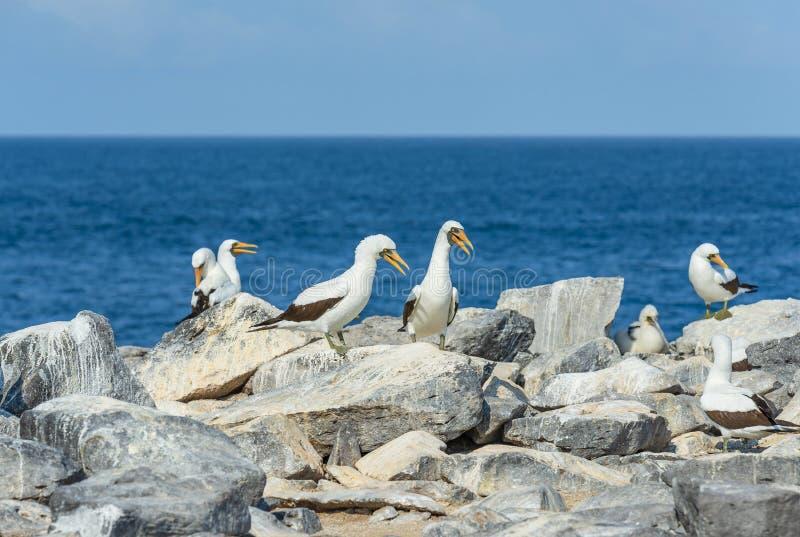Nazcadomoren op a-klip, de Eilanden van de Galapagos, Ecuador stock foto's