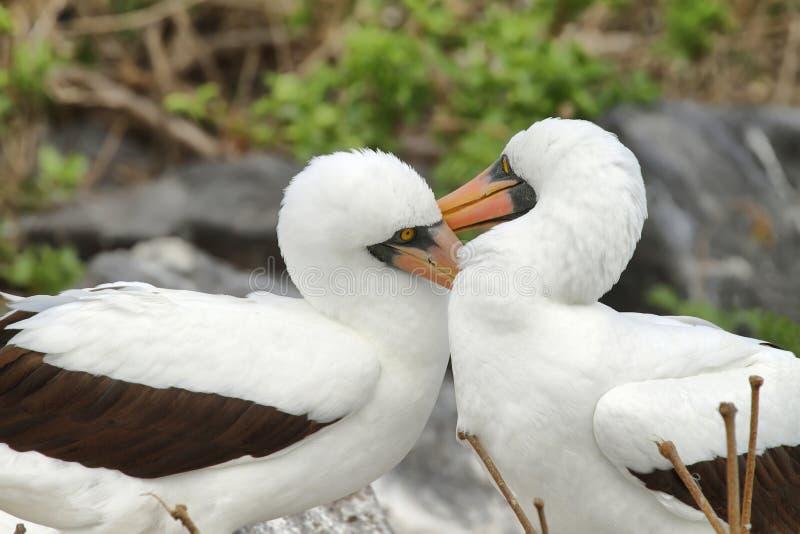 Nazcadomoren (Sula-granti) in de Galapagos stock fotografie