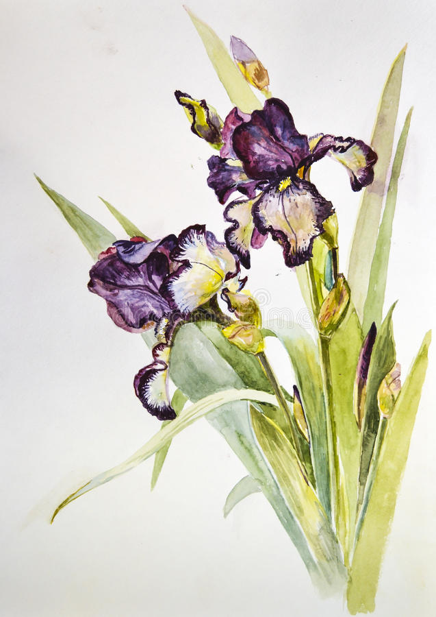 NBlossoming beautiful flowers irises painted with watercolor royalty free stock photos