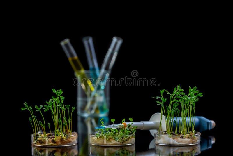 ?ndrade genetiskt v?xten som testades i den petri matr?tten med den kemiska l?sningen i provr?r p? Black fotografering för bildbyråer