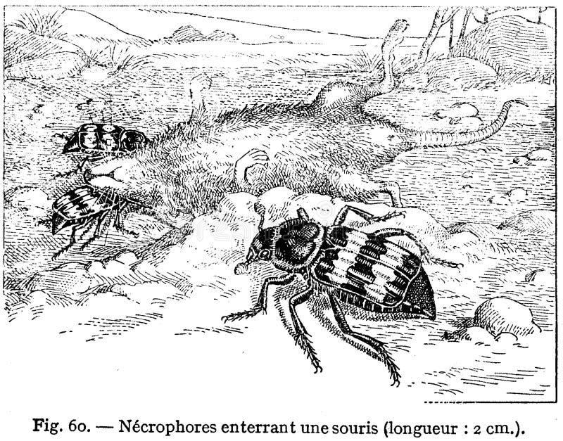 Nécrophore Free Public Domain Cc0 Image