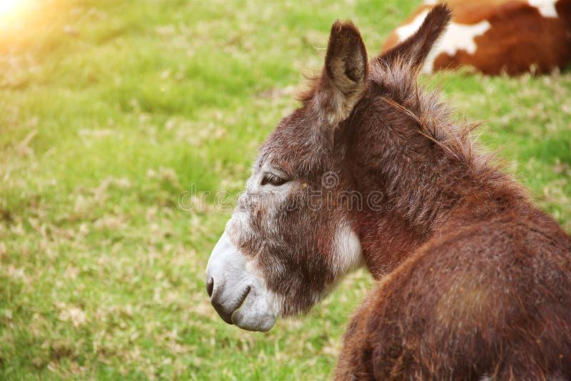 Âne haut étroit sur un pré, profil d'âne futé, tête drôle d'âne, nature et concept de faune Fond mammifère d'animaux photographie stock libre de droits