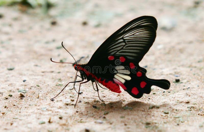 NE Tailandia de la mariposa fotos de archivo libres de regalías