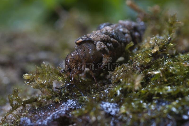 Nea ¡ FrigÃ, личинки Caddisfly в построенном доме Ручейники Caddisfly Среда обитания реки стоковое фото rf