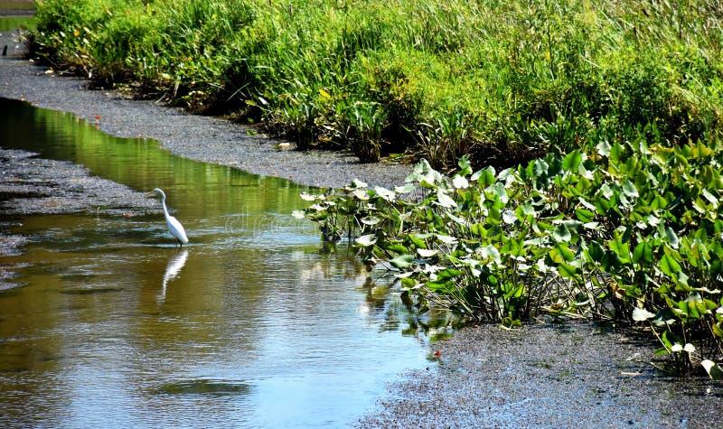 Neabsco Creek Boardwalk, Woodbridge, VA. White heron in Neabsco Creek Boardwalk, Woodbridge, VA, USA royalty free stock photography