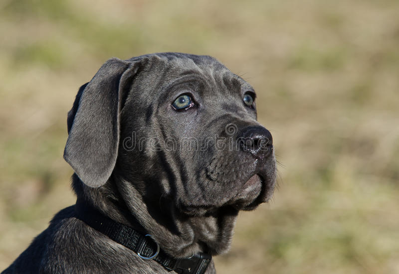 Download Neapolitan Mastiff dog stock photo. Image of cute, stares - 18689894