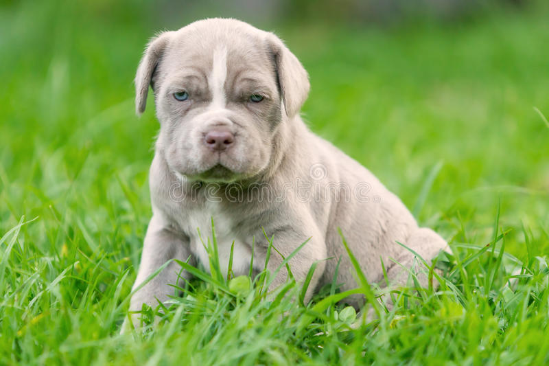 Neapolitan Mastiff Female Puppy Resting royalty free stock images