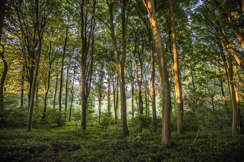 Near Belchford, Lincolnshire, UK, July 2017, View of tree canopy near the Bluestone Heath Road. Near Belchford, Lincolnshire, UK, July 2017, View of atree canopy royalty free stock photo