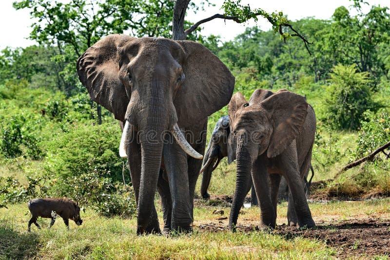 Near bevattna hål för elefanter och Wart Hog royaltyfri foto