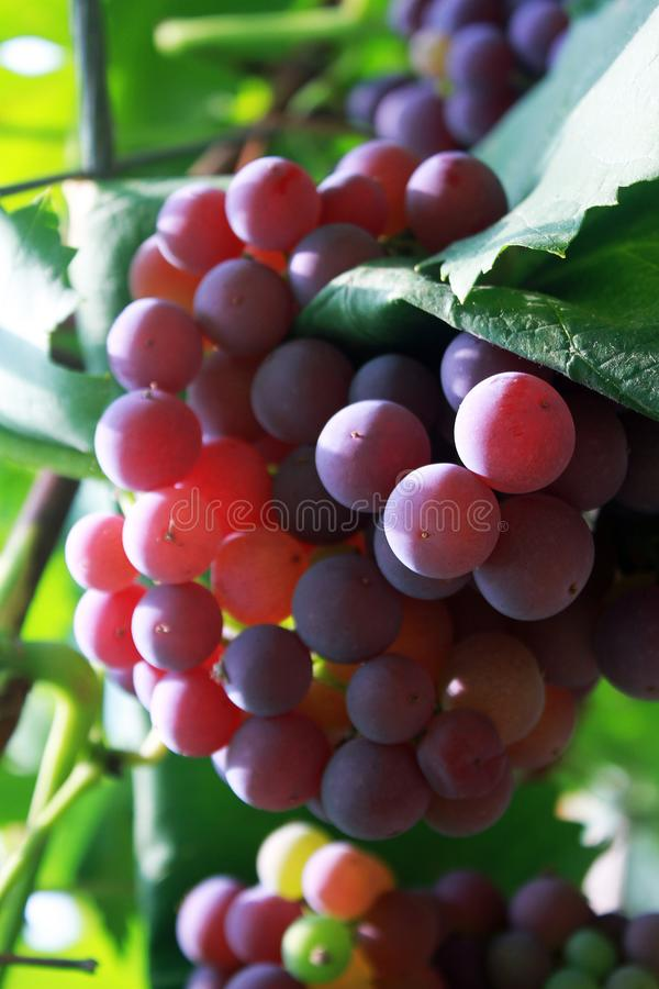 A long string of purple grapes royalty free stock photo