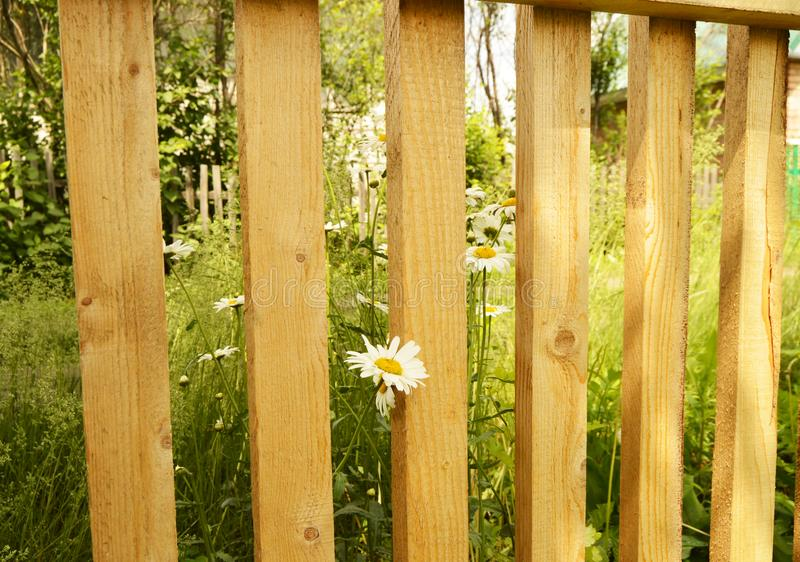 Near the new wooden fence grow daisies in the grass on a Sunny summer day royalty free stock photo