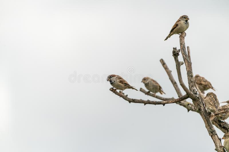 House sparrow (Passer domesticus. Near purfleet along the Thames Estuary, South East England, bird, birds, house, sparrow, passer, domesticus, nature royalty free stock photography