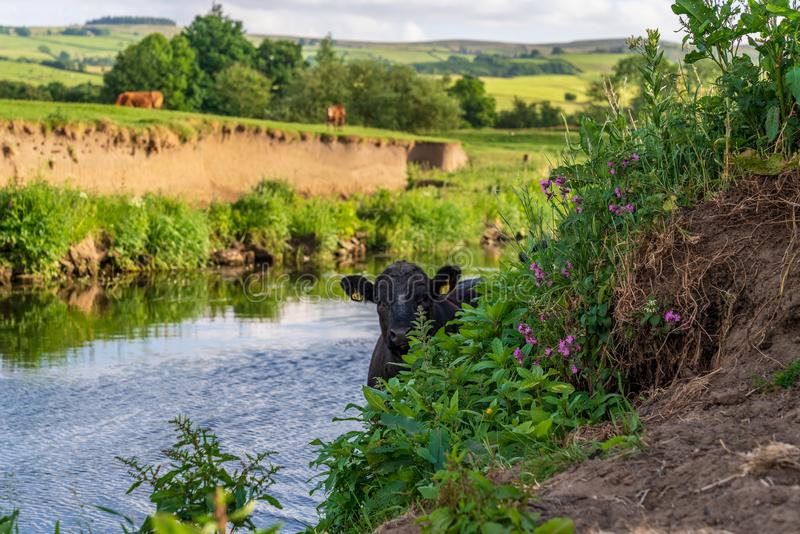 River Aire, near Skipton, North Yorkshire, England, UK. Near Skipton, North Yorkshire, England, UK - June 06, 2018: Cows on the shore of the River Aire stock images