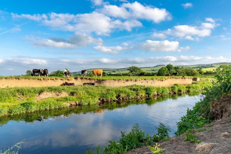 River Aire, near Skipton, North Yorkshire, England, UK. Near Skipton, North Yorkshire, England, UK - June 06, 2018: Cows on the shore of the River Aire stock photos