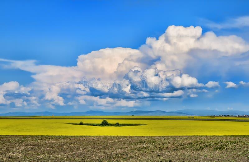 Near Timisoara. A beautiful rapeseed flower field near Timisoara Romania royalty free stock photo