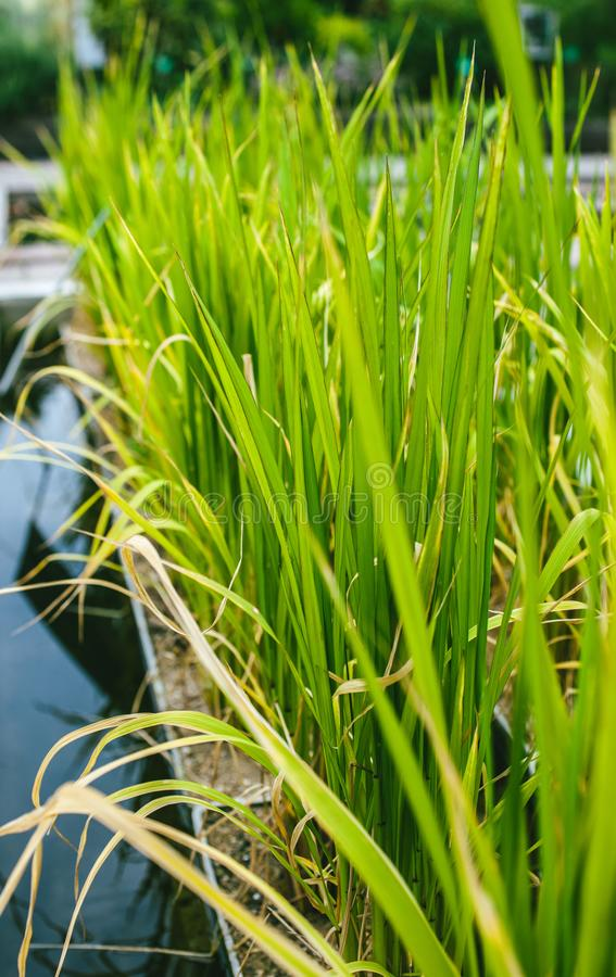 Near vatten för bambukoloni arkivfoto