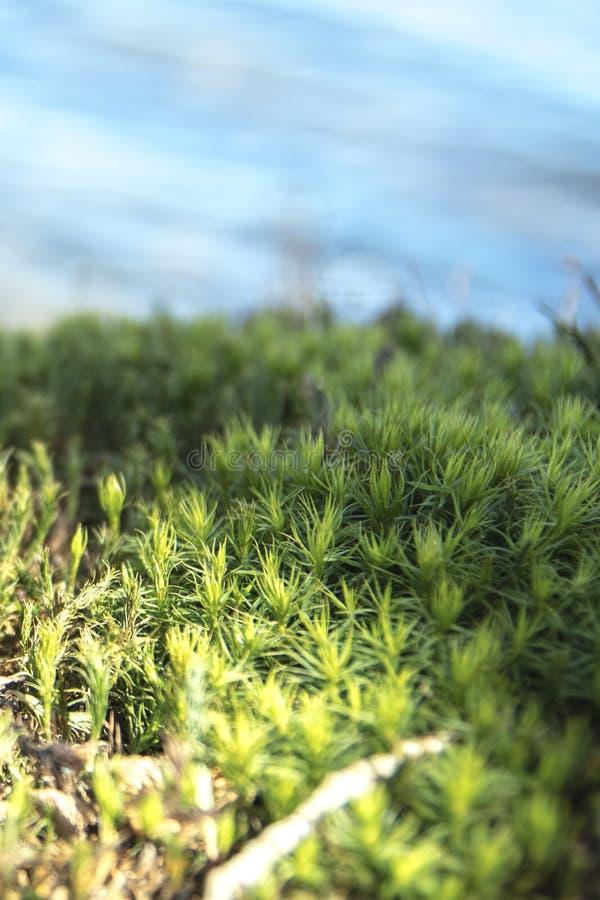 Near vatten för detaljerat mossagräs royaltyfria bilder