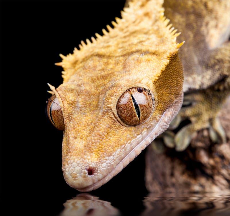 Near vattenslut för reptil upp arkivfoton