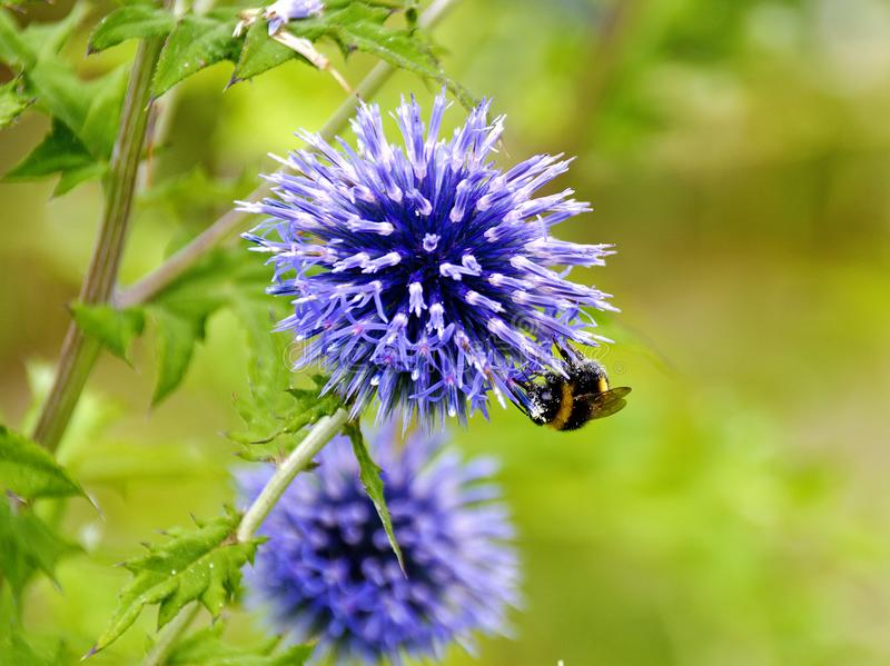 Blue thistle with bumble-bee royalty free stock photo
