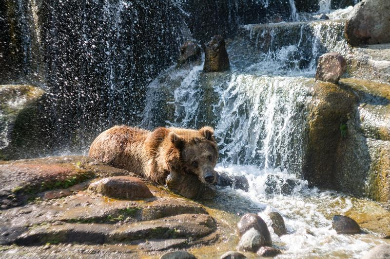 Bear bathes in a waterfall royalty free stock image