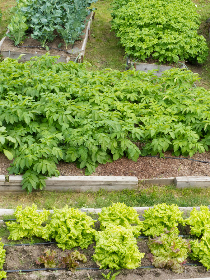 Download Raised Beds Of Various Vegetable Plants Potatoes Royalty Free Stock Photo - Image: 30150215