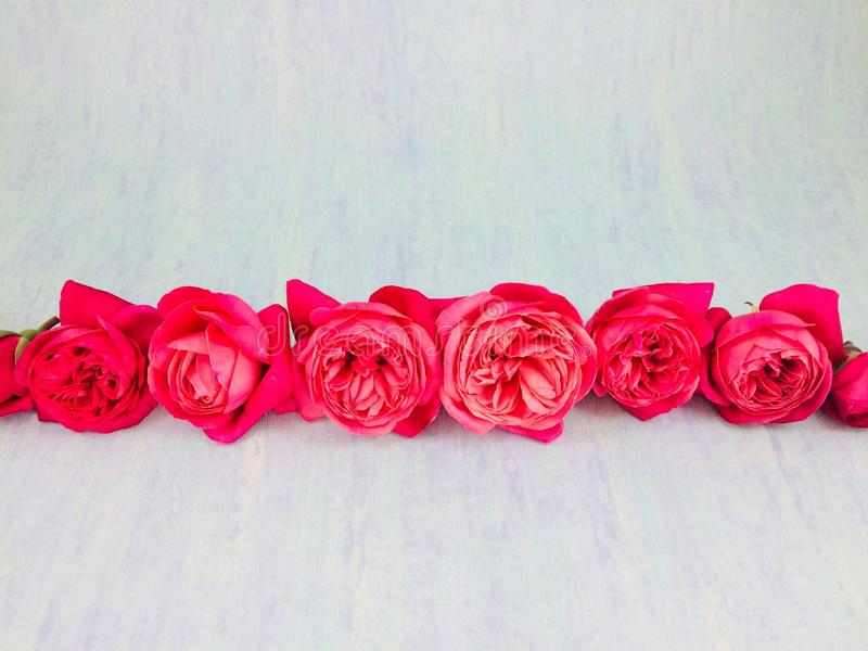 A neat red roses on a blue background royalty free stock image