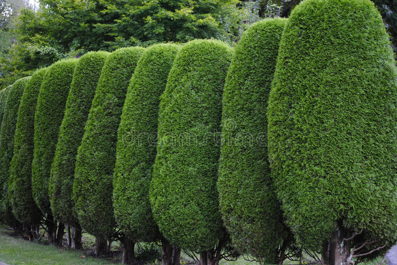 Neatly trimmed hedge royalty free stock photo