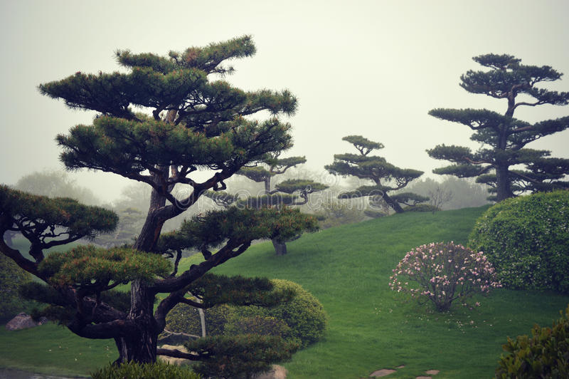 Nebbia degli alberi dei bonsai fotografia stock