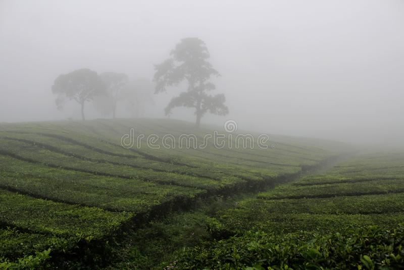 Nebbia nel campo del tè di Sukawana fotografia stock libera da diritti