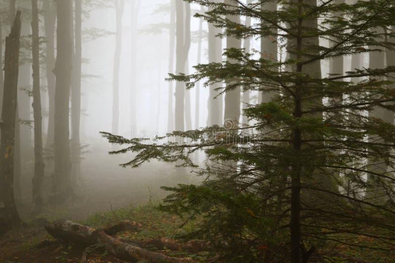 Nebbia nella foresta fra i tronchi di albero e l'albero attillato fotografia stock