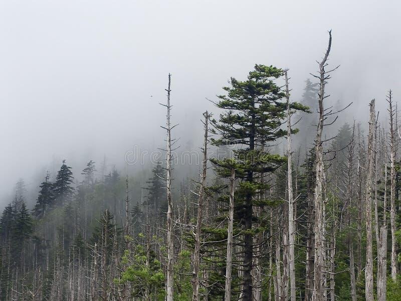 Nebbia, pini e strappi in grandi montagne fumose NP immagini stock