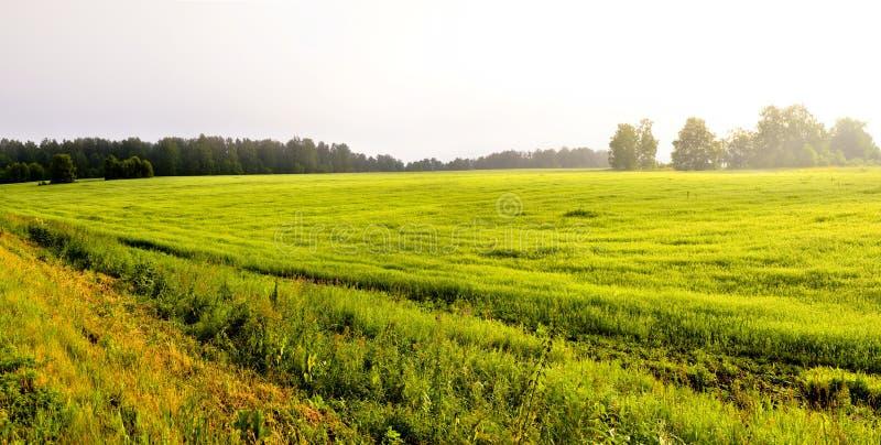 nebbia spessa di mattina nella nebbia spessa di mattina della foresta di estate nella foresta allo stagno Paesaggio di mattina in immagine stock libera da diritti
