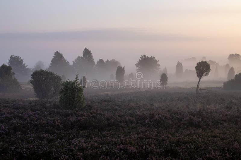 Nebel über schöner blühender Heidelandschaft bei Sonnenaufgang lizenzfreie stockfotos