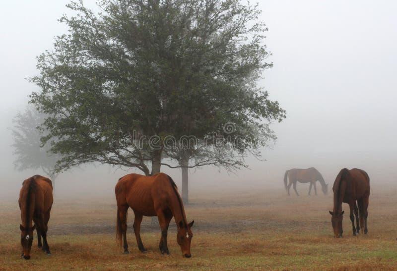 Nebel und Pferde stockfotos
