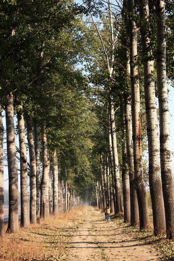 Nebel Vesture-Pappelbäume lizenzfreie stockfotografie