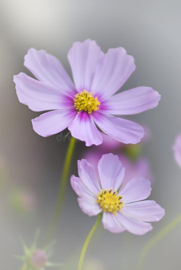 Nebelhafte Blumen lizenzfreie stockbilder