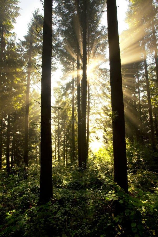 Nebelhafte Sonnenaufgangwaldlandschaft stockfoto