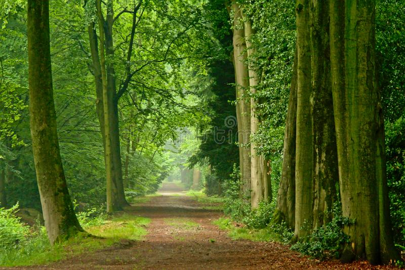 Nebelhafte Wege von Bäumen in einem grünen Frühlingswald in Kalmthout lizenzfreies stockfoto