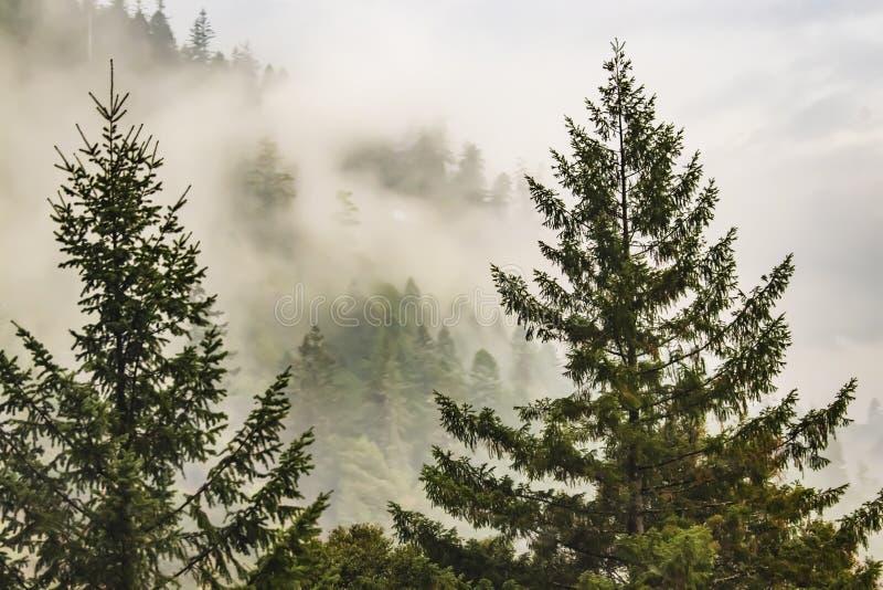 Nebelhafter Berg mit immergrünen Bäumen im forground und shouded Bäume im Hintergrund einnebeln lizenzfreies stockbild