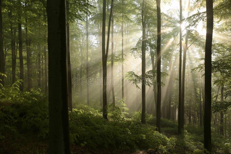 Nebelhafter Herbstbuchenwald im Sonnenschein lizenzfreies stockfoto
