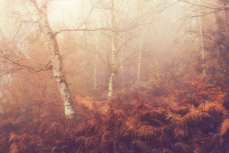 Nebelhafter Hintergrund des Herbstes, Birkenwaldung und Farn stockbild
