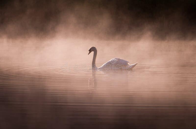 Nebelhafter Morgen Schwan stockbilder