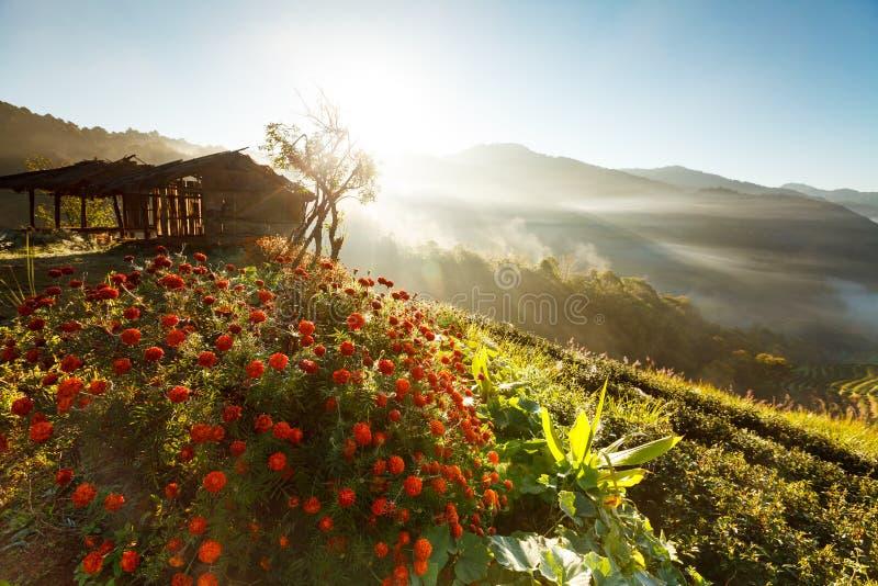 Nebelhafter Morgensonnenaufgang in der Teeplantage bei Doi Ang Khang lizenzfreies stockbild