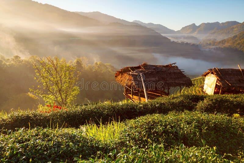 Nebelhafter Morgensonnenaufgang in der Teeplantage bei Doi Ang Khang, Chiang lizenzfreie stockfotos