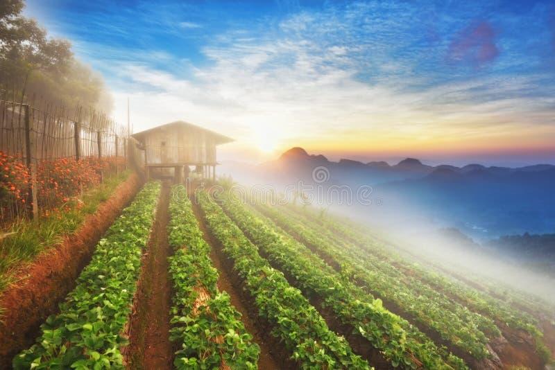 Nebelhafter Morgensonnenaufgang im Erdbeergarten stockfoto