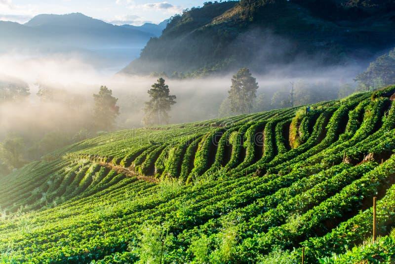 Nebelhafter Morgensonnenaufgang im Erdbeergarten lizenzfreie stockfotos