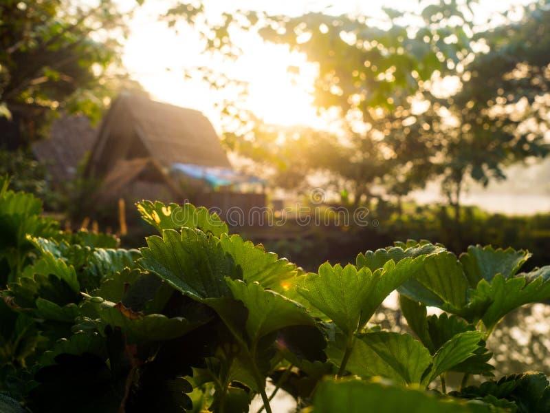 Nebelhafter Morgensonnenaufgang im Erdbeergarten stockfotos